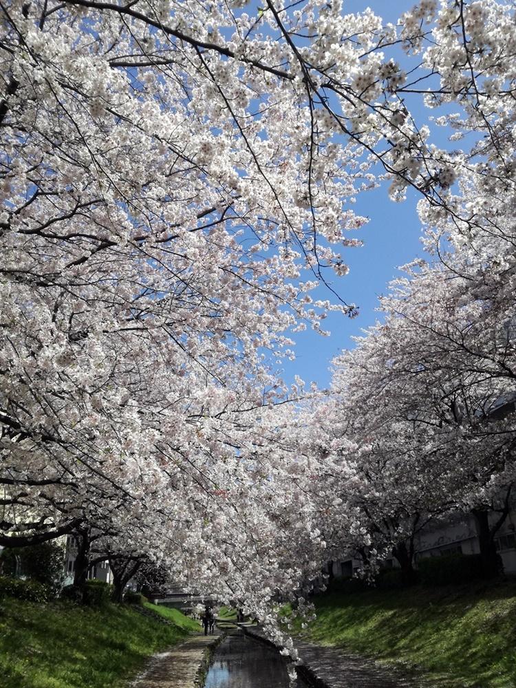 170412桜-01
