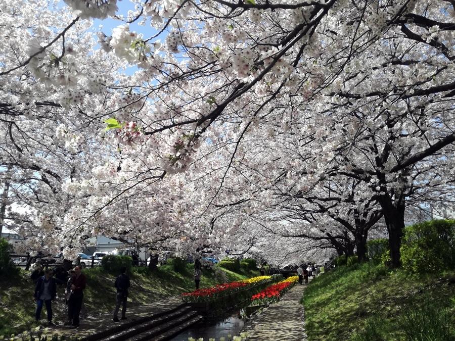 170412桜-02