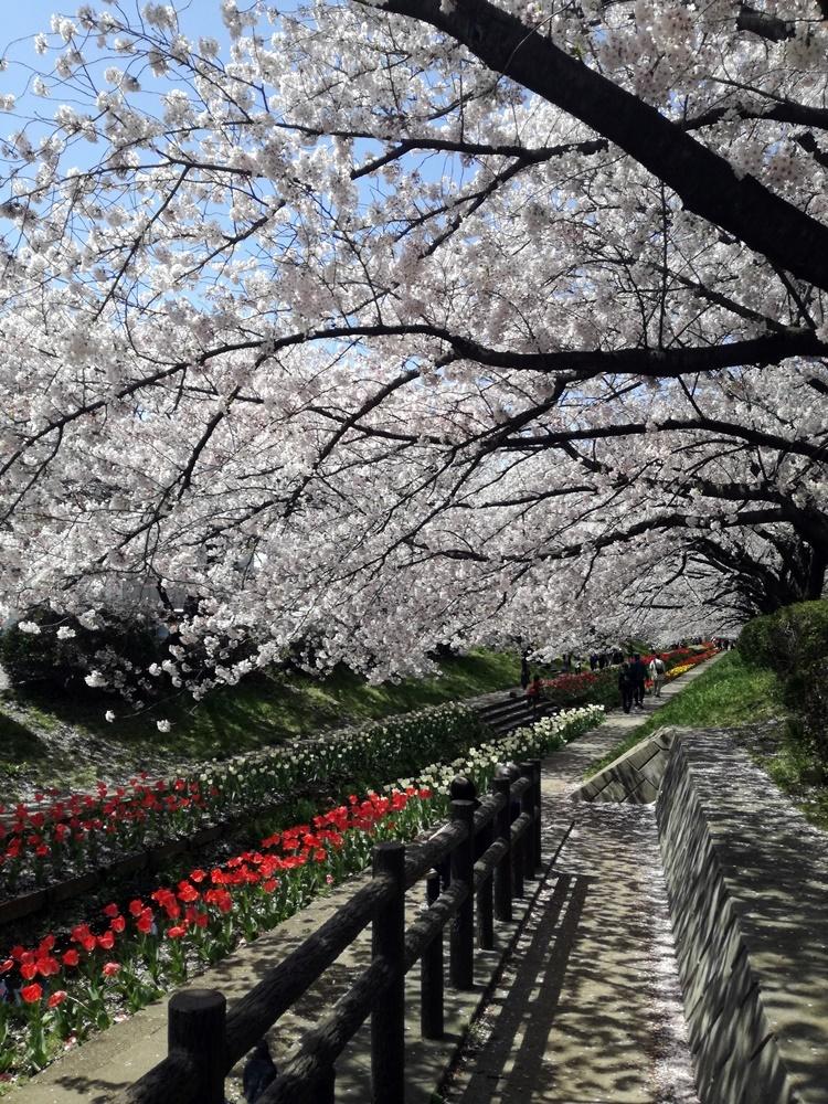 170412桜-04