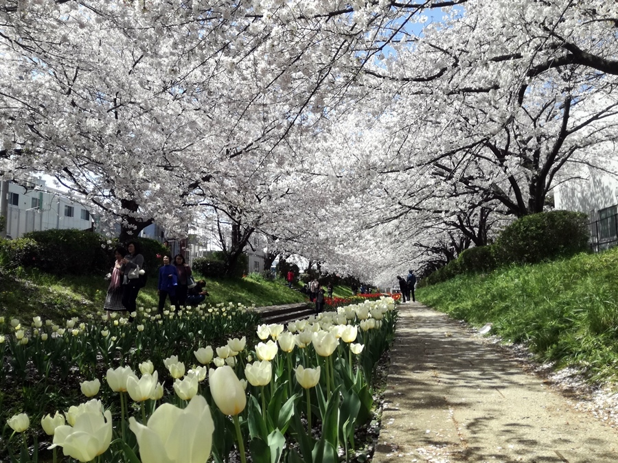 170412桜-05