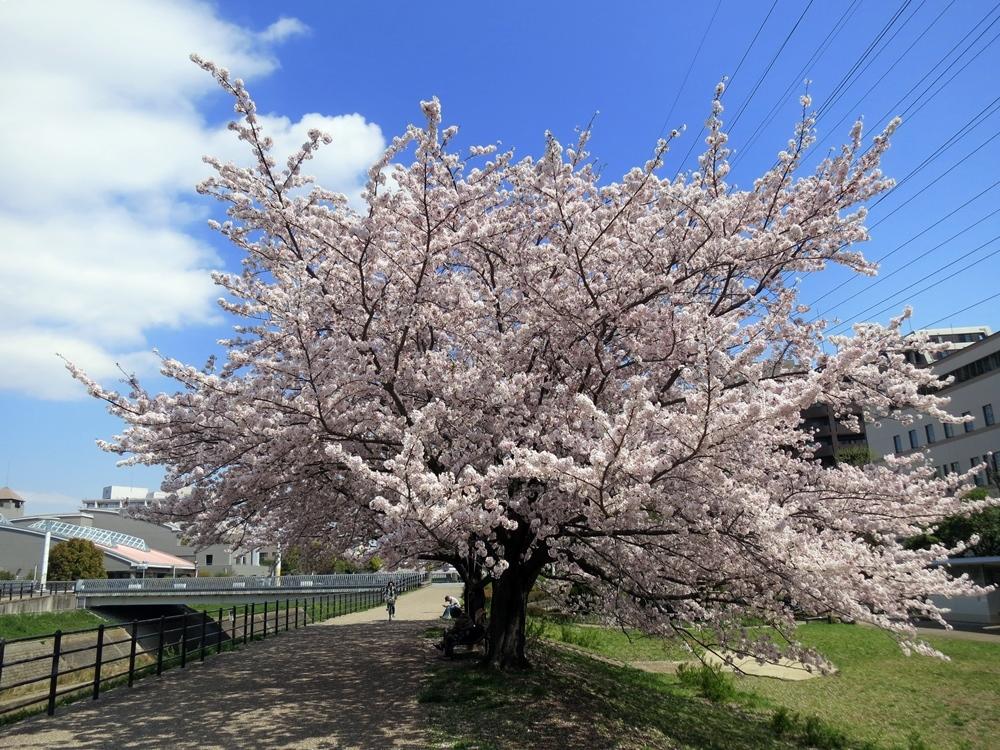 170413桜見納め-03