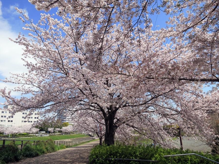 170413桜見納め-05