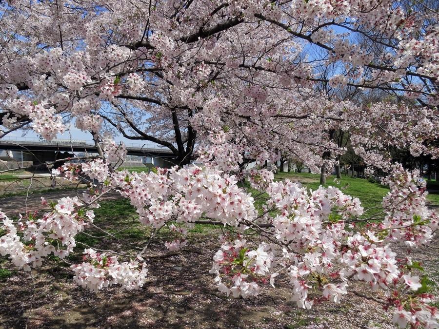 170413桜見納め-07