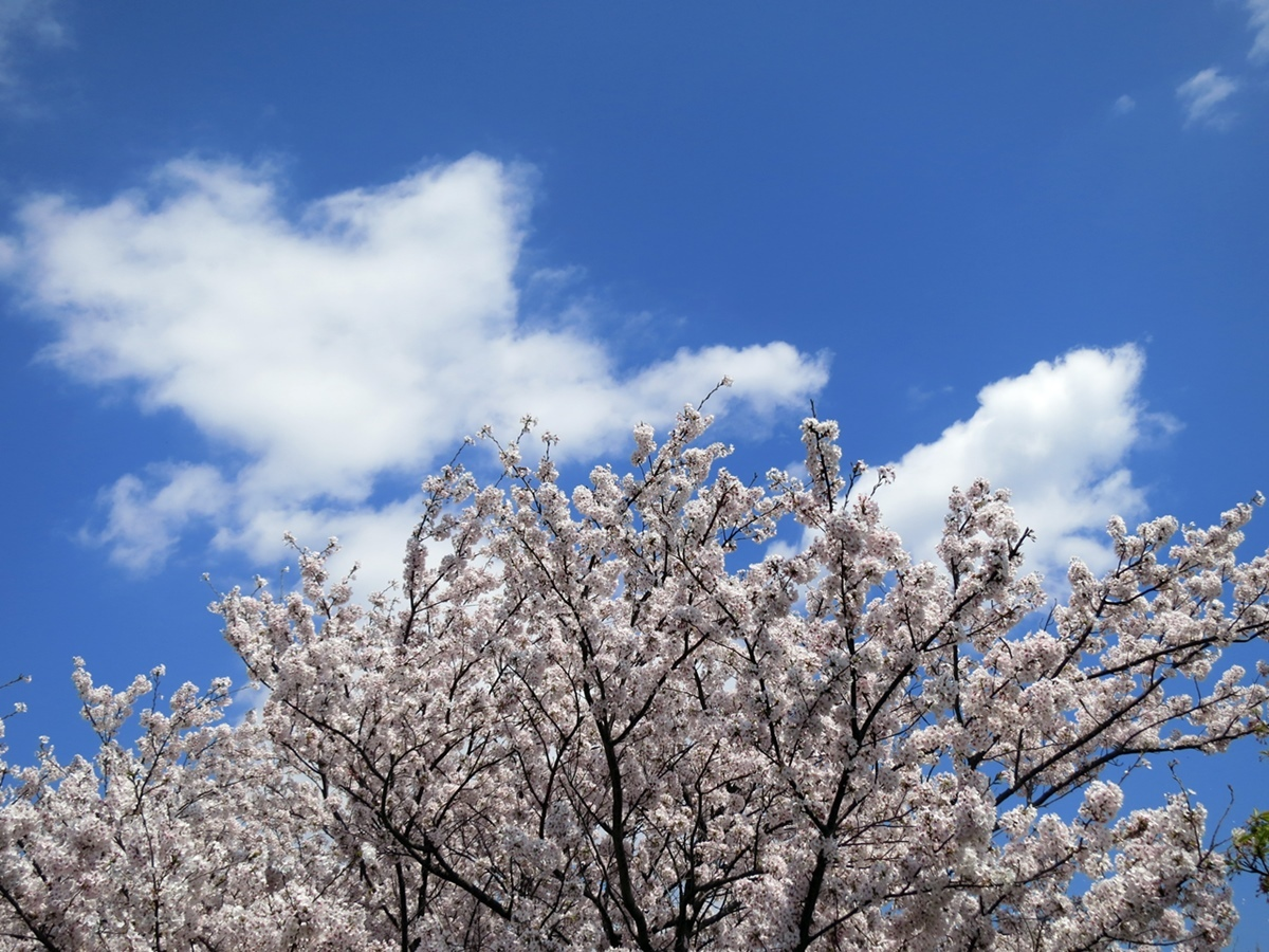 170413桜見納め-08