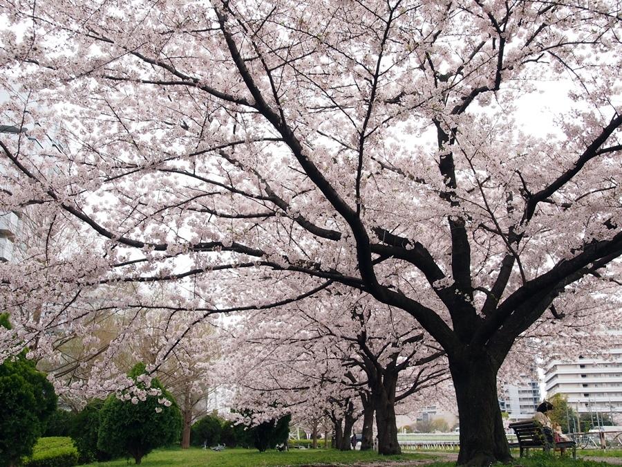 新横浜公園桜-01