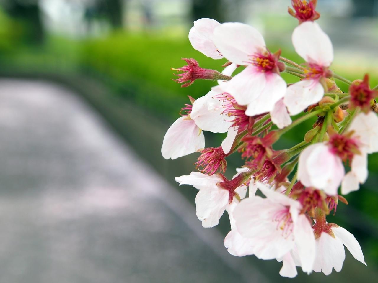 新横浜公園桜-02