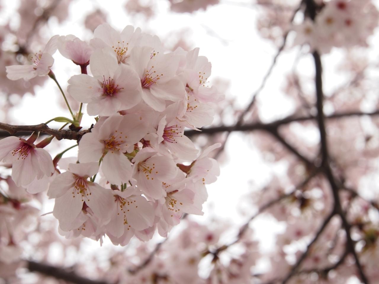 新横浜公園桜-03
