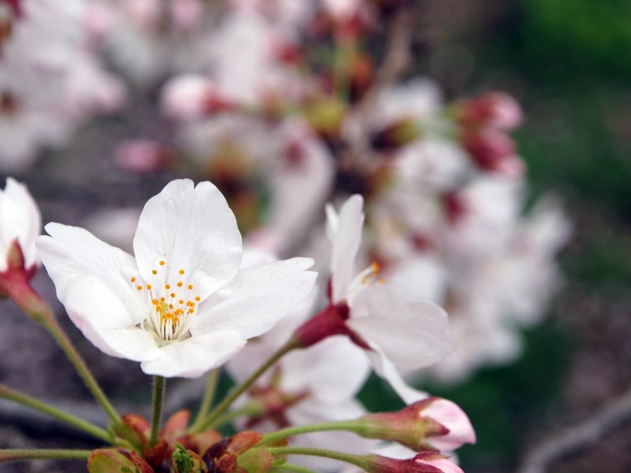 新横浜公園桜-04