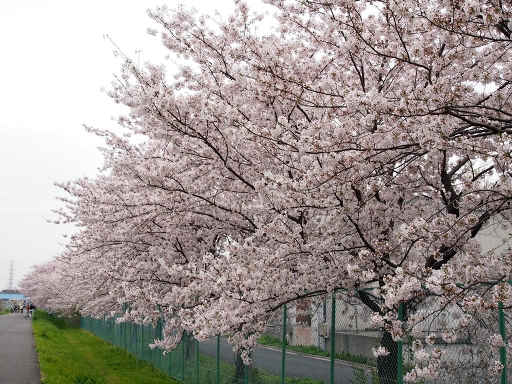 新横浜公園桜-05