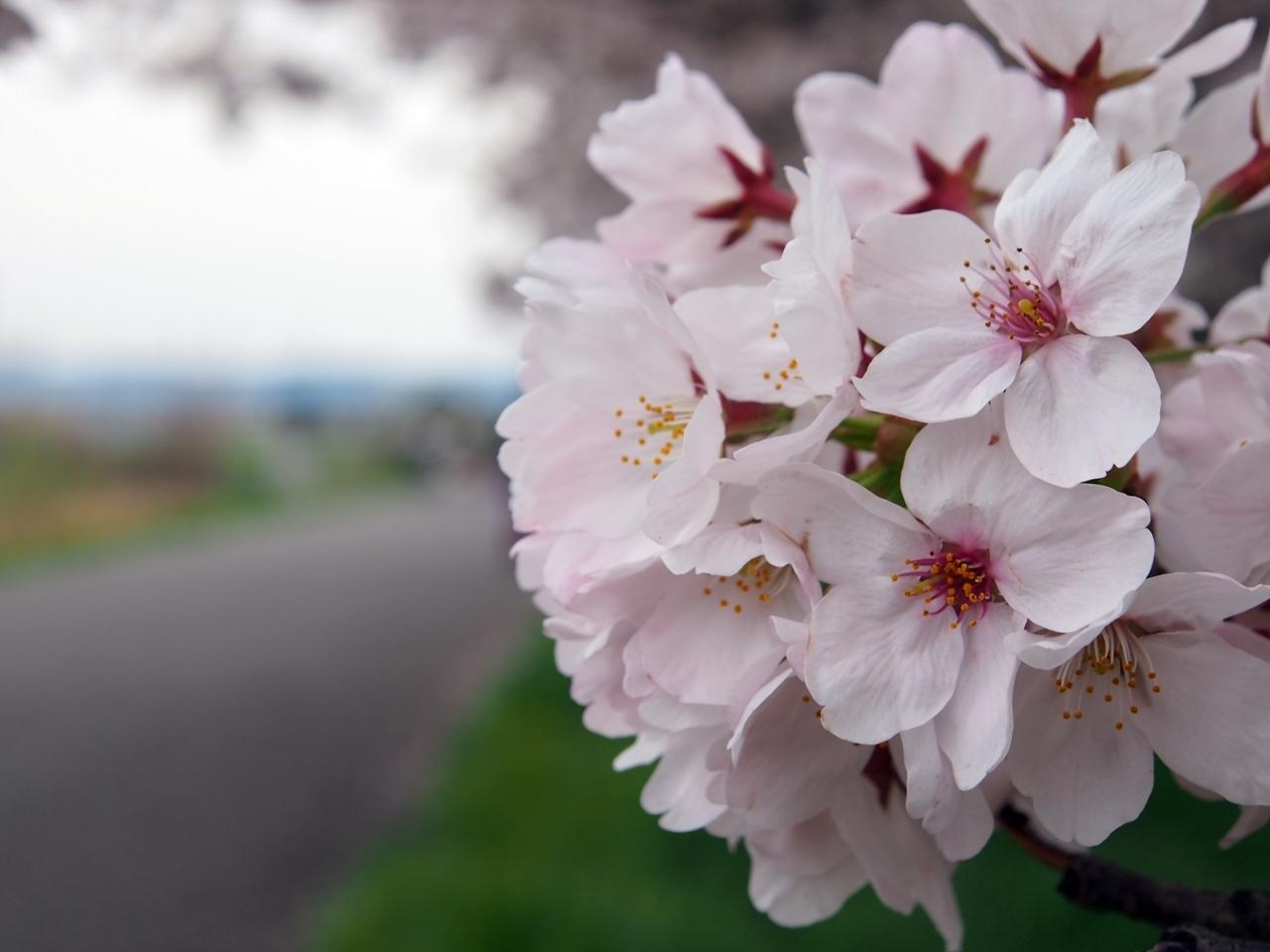 新横浜公園桜-06