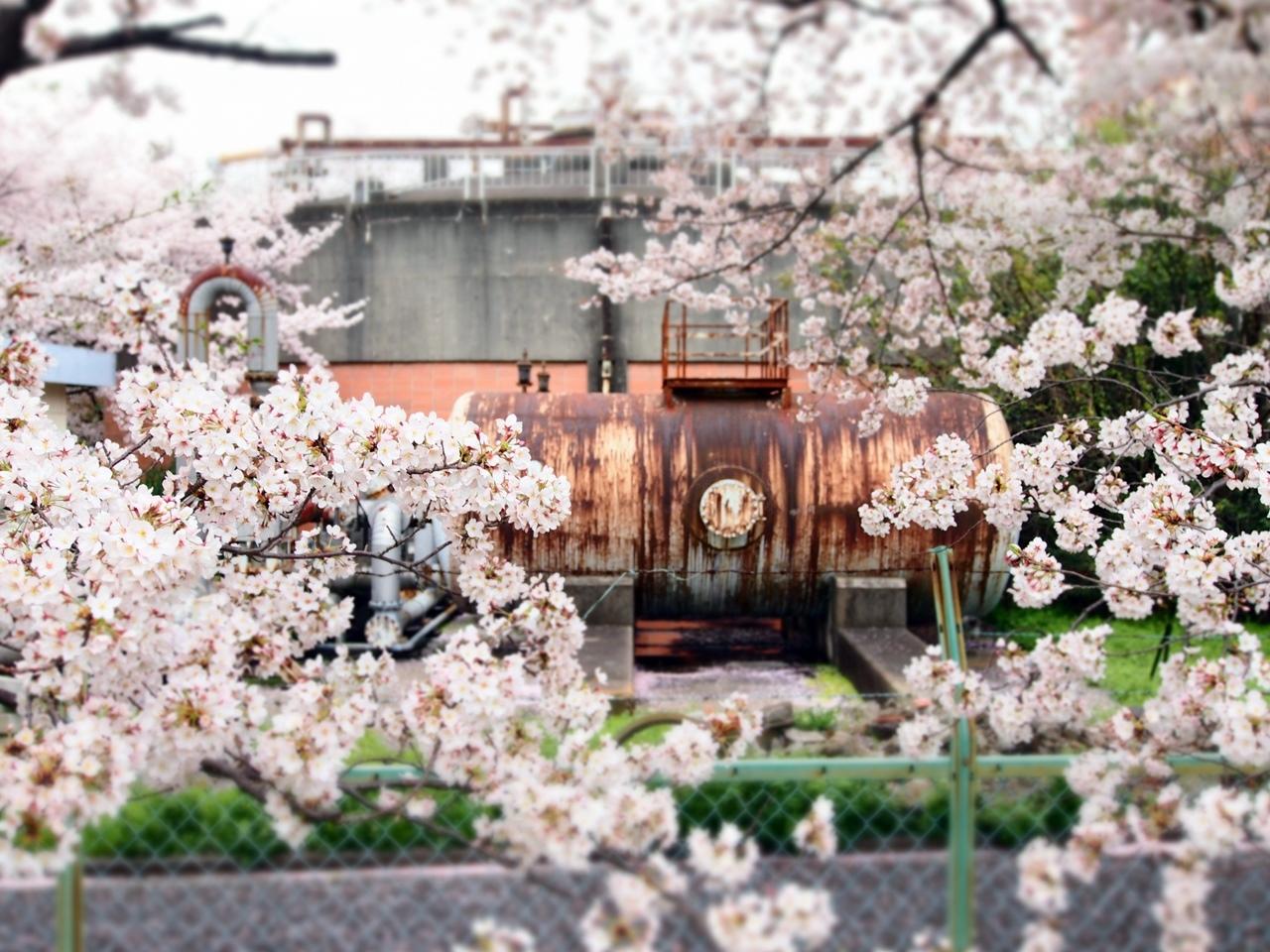 新横浜公園桜-07
