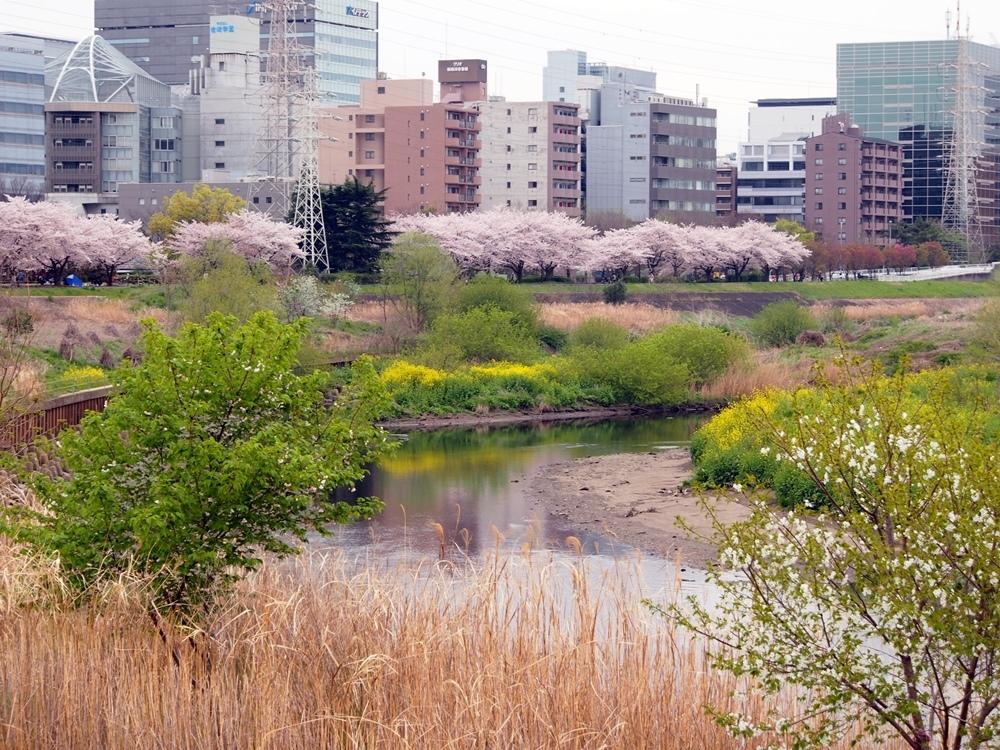 新横浜公園桜-08