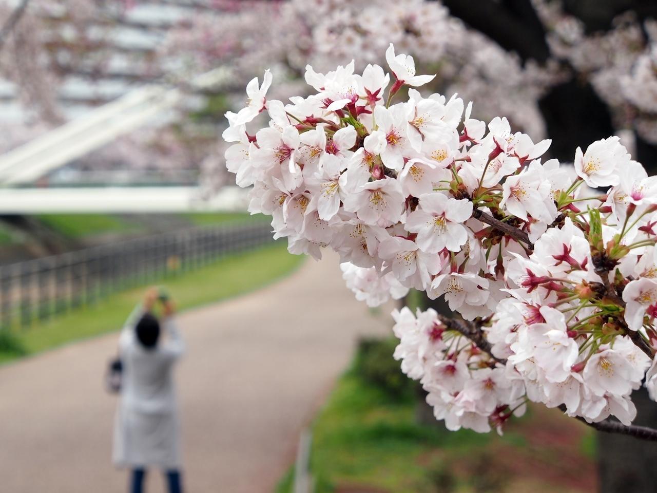 新横浜公園桜-09