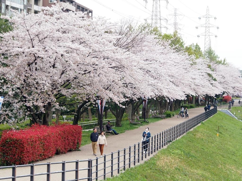 新横浜公園桜-10