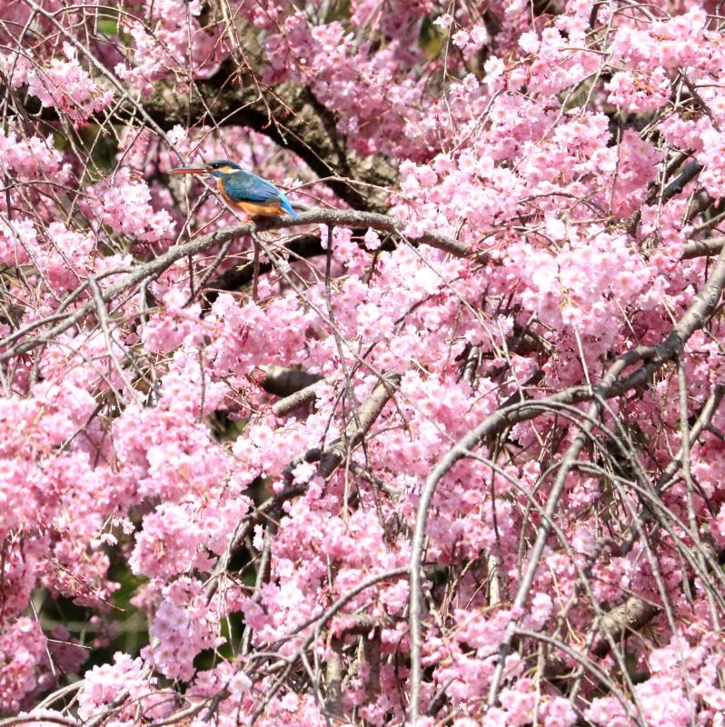 枝垂れ桜とカワセミ
