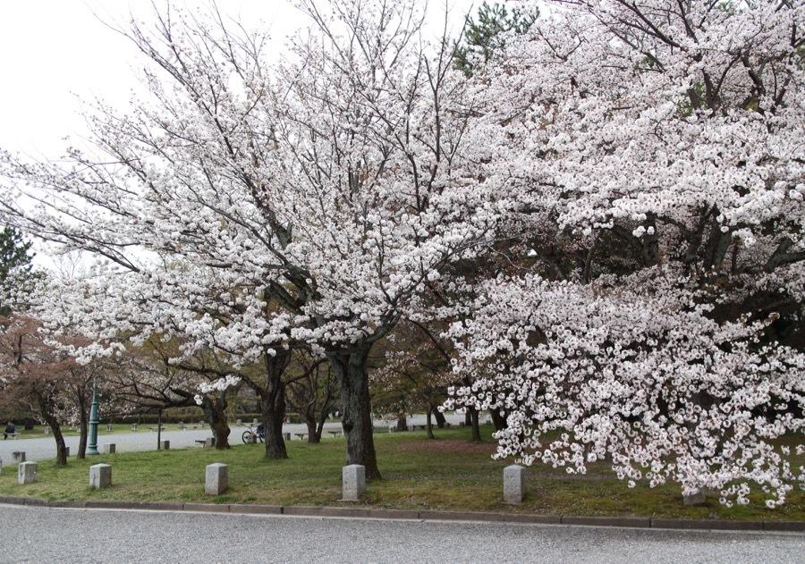 20170310sakura3.jpg