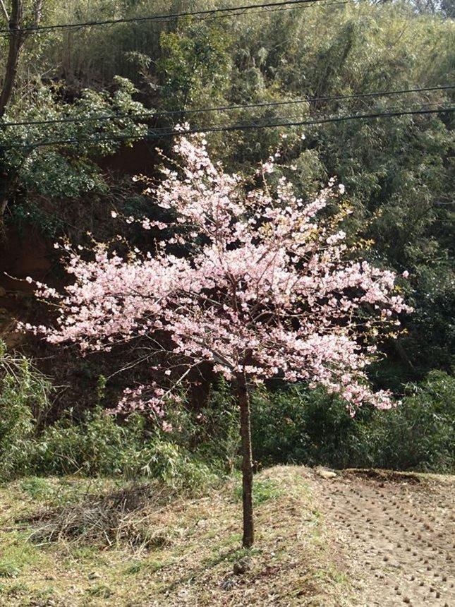 w 飯山観音門前の桜