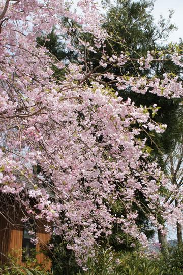 H290422桜