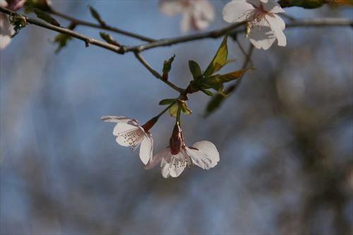 彼岸桜 (2)