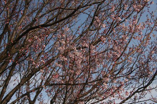 小彼岸桜2