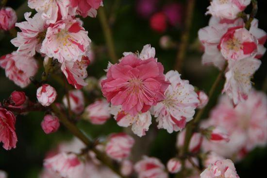 花桃 絞り2