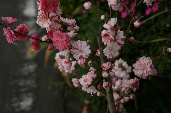 花桃 絞り1