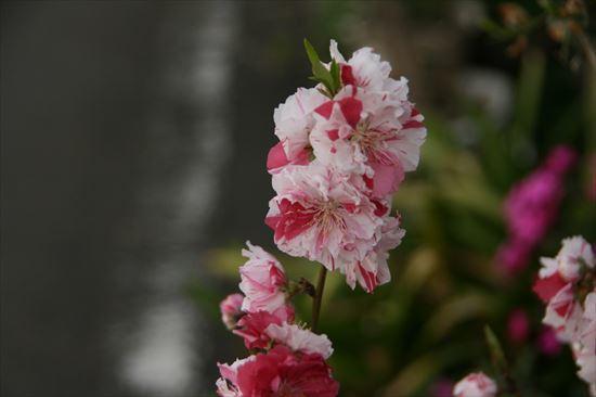 花桃 絞り