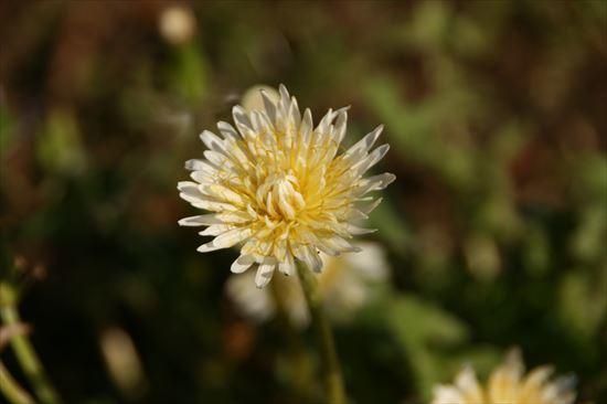 白花たんぽぽ