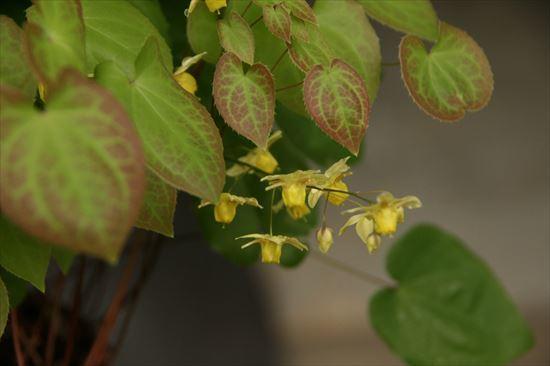 イカリ草 黄花