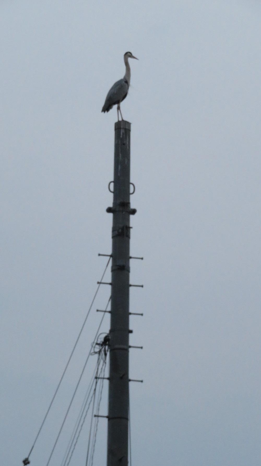 1電信柱の上にIMG_1180