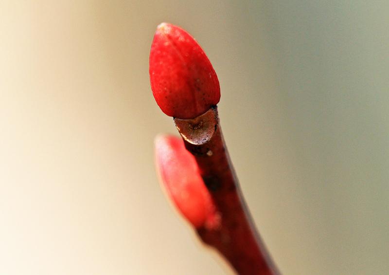 ネジキの冬芽