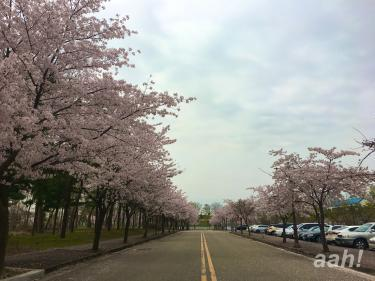 エリカキャンパスにて桜並木を今回も見れました^^