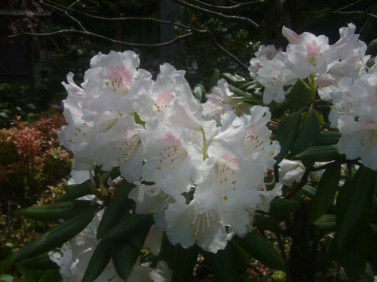 安養寺石楠花ピンク H29.4.20