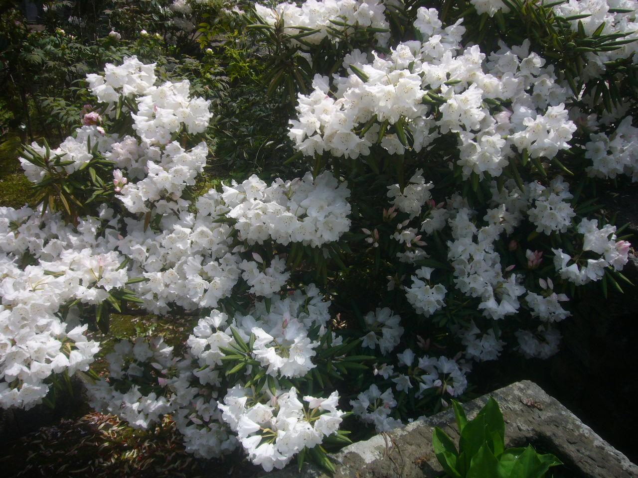安養寺石楠花 ホワイト H29.4.20