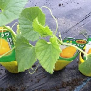 マクワ瓜を定植