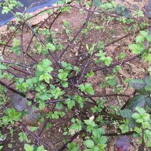 ブラックベリーの芽吹き
