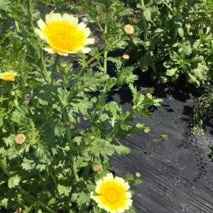 サラダ春菊の花