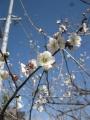 H29.2.27白梅の花@IMG_0650