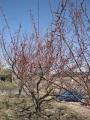 H29.2.27紅梅の様子@IMG_0654