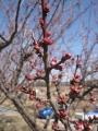 H29.2.27紅梅の花蕾@IMG_0653