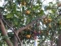 H29.4.12グレープフルーツ収穫④@IMG_0927