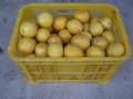 H29.4.12グレープフルーツの実収穫④(16k)@IMG_0928
