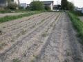 H29.4.22ジャガイモ発芽の様子@IMG_1005