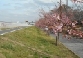富士見江川の土手