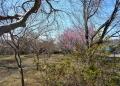 園内にはまだ咲いてない桜のほうが…