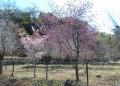 左・オカメ桜、右・寒緋桜