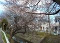 東川と桜①