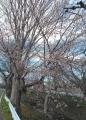 東川と桜②