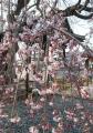 地蔵院のしだれ桜②