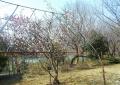 カラミザクラ(唐実桜)